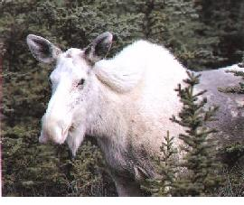 albino-moose-b